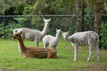 SURHUISTERVEEN - Alpacamundo