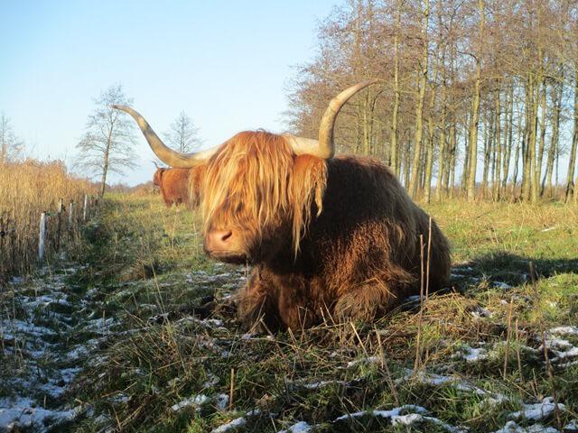 Uit het hart Grootegast Schotse Hooglander